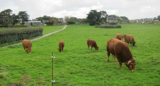 Bovins en pâture avec bâtiment agricole en arrière plan, à gauche