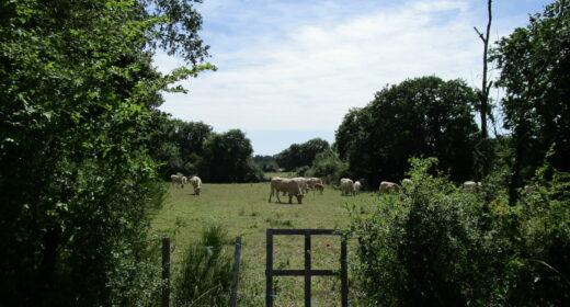 Vaches qui pâturent dans un pré