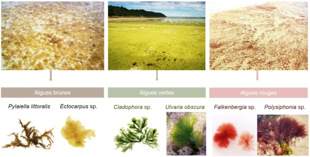 Algues opportunistes