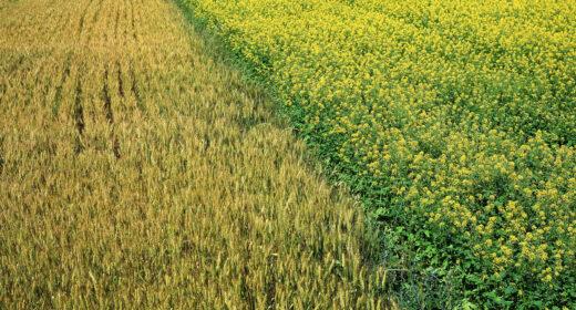 Champ de céréales blé et colza