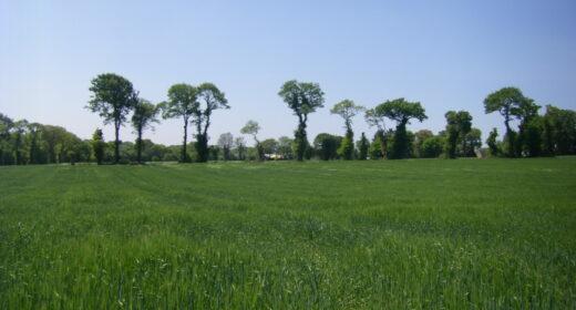 chmaps de blé vert avec haies à l'horizon